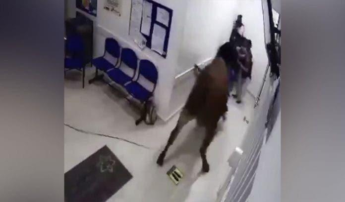 portada-vaca-entra-hospital-colombia