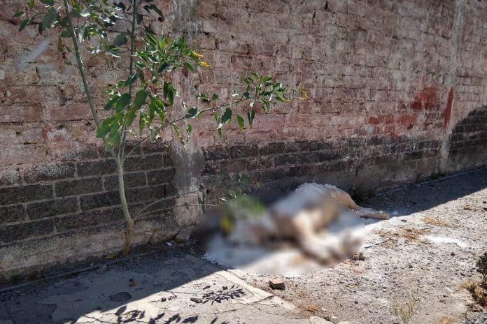 Vecinos encuentran muerto a un león africano en plena calle
