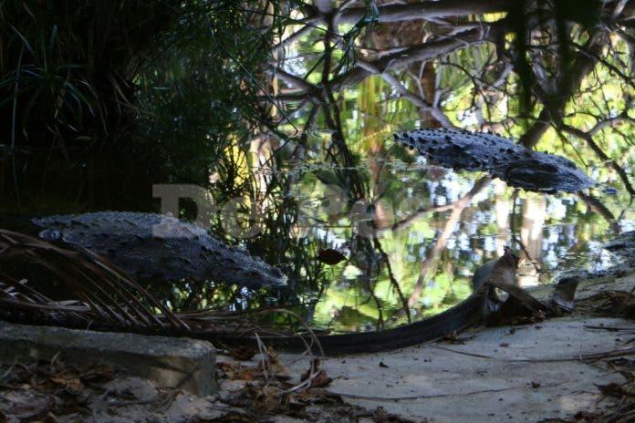 Cancún: Así encontraron a los cocodrilos muertos de Crococun