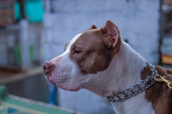 Niño muere atacado por los perros pitbull de sus padres